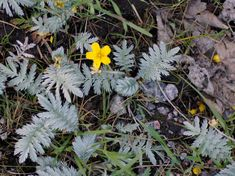 Ketohanhikki - Argentina anserina Earth, Nature, Flowers, Plants, Naturaleza, Plant, Nature Illustration, Royal Icing Flowers, Off Grid
