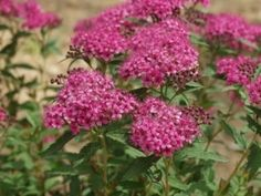 Spirea, Pink Innocense - Wholesale Flowers for weddings and events – Wholesale Florist – Floral, Floral Supply, Flower Distributor Plants, Pink Flowers, Spirea, Floral Design, Wholesale Flowers, Flowers, Floral, Live Plants, Hot Pink Flowers