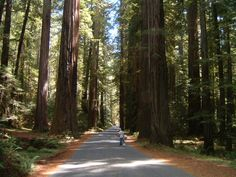 These trees are so large and strong. They have leaved and survived for hundreds of years and they had withstood maybe different things. It inspires me to be as strong as them and to stand tall.     From team Alycia/Carlene/Cassidy/Phyllis     redwood forests in california - Google Search..I REALLY WANT TO GO HERE!