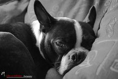Baxter the Boston Terrier