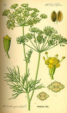 Dosya:Illustration Anethum graveolens0.jpg
