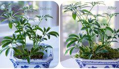 Decorator's Trick to dressing up houseplants.  www.reinventingeden.com