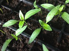 Sweet Pepper seedlings 10/4/14