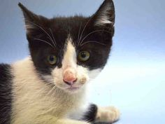 ACCORD - A1040711 - - Manhattan  **TO BE DESTROYED 06/23/15** Get your motor running for this sporty quartet of kittens! INFINITY, CADILLAC, ACURA and ACCORD are handsome young boys who were brought into the ACC as a single group, although from the age guesstimates of the ACC, the shelter thinks these guys are from separate litters. Since all they plan to do is kill them tomorrow anyway, it's not as if the shelter has probably given it much thought. All 4 of these lov
