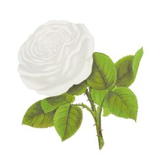 rose-flower-clipart-artwork-image-coquette-des-alps.jpg (JPEG-kuva, 1600×1588 kuvapistettä) - Pienennetty (41 % alkuperäisestä)