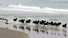 A herd of horses gallops along Tomahawk Beach in Dunedin yesterday morning while being filmed for an overseas commercial. Horse Galloping, Black Horses, Horse Photos, Commercial, In This Moment, Beach, Animals, Pictures Of Horses, Animales