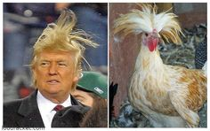 Risultati immagini per trump hair meme Celebrity Funny Faces, Haha Funny, Funny Jokes, Donald Trump Caricature, Donald Trump Hair, Funny Images, Funny Pictures, Trump Idiot, Funny Clips