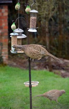 I don't think the bird feeders were designed for pheasants.  FOOD