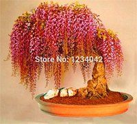 11/8/2016 -- 10pc Rare Gold Mini Bonsai Wisteria Tree Seeds. Only $12.50! :)
