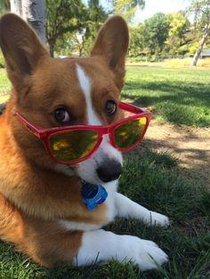 Image result for corgi sunglasses