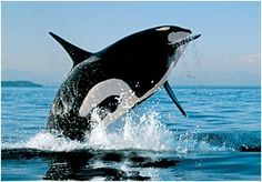 How Intelligent are Whales? (Photo credit Bob Talbot)