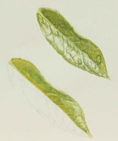 How to paint leaves? Demonstration in watercolor by Susan Harrison-Tustain,free Demo,Lesson #watercolorarts