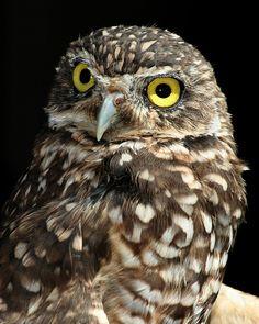 "[Burrowing Owl: "" De ideal and nobelst art, workin' with de complexity of life; be over-comin' doubt."""