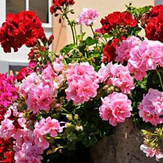 Parassiti dei gerani, rimedi naturali per eliminarli e avere balconi fioritissimi! – LEITV