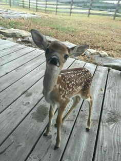 cute little fawn on my deck. cute : cute little fawn on my deck. Beautiful Creatures, Animals Beautiful, Hello Beautiful, Animals And Pets, Funny Animals, Cute Little Animals, Adorable Animals, Tier Fotos, Cute Animal Pictures
