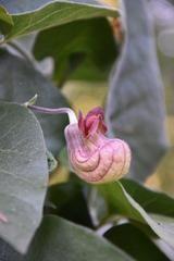 Aristolochia californica (California Pipevine) | Keeping It Green Nursery Drought Tolerant, Shrubs, Vines, Bloom, Nursery, California, Flowers, Green, Plants