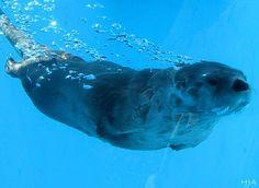 Sea otter swimming!