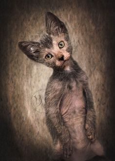 Lykoi Cat personality