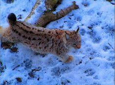 Matkojeni blogi: Vain ilveksiä! Ilves edessä, ja ilves takaa, Kansankoti 24.02.2016 Camera Obscura, Rocky Horror, Lynx, Culture Travel, Gotham, Sherlock, Travel Photos, Cats, Animals