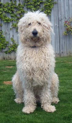 Wentwood Puppies - Labradoodles - Owners Pics