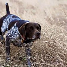 Carla, German shorthaired pointer
