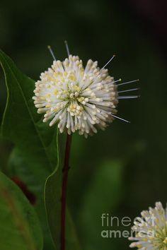 Title  Button Flower   Artist  Ella Kaye   Medium  Photograph - Photography