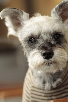 I really want a miniature Schnauzer! To me they look like little old gentleman. I would name him either Harold, Winston, Laurence, Claude, Leopold, Theodore, Einstein....