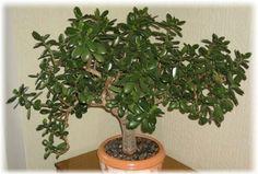 Bonsai, Crassula Ovata, Jade Plants, Pots, Hobbies And Crafts, Feng Shui, Cactus, Succulents, Herbs