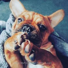 Here is another cute little Frenchie to put a smile on your face. Tag some friends then share this post on your wall! Also please comment and visit our shop at www.MyFrenchBulldogShop.com :) While your there get yourself some sweet Frenchie merchandise and show your Frenchie pride!