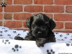 Tonya, Yorkie Poo puppy for sale in Manheim, Pa Yorki Poo, Yorkie Poo Puppies, Greenfield Puppies, Poodle Mix, Puppys, Puppies For Sale, Cute, Animals, Cubs