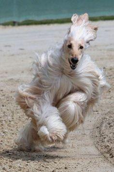 Afghan Hound running through the sand!