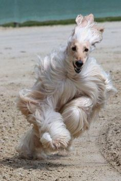 Afghan Hound running through the sand! Facebook Sabine Maass
