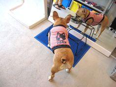 Ms. Momo, the French Bulldog