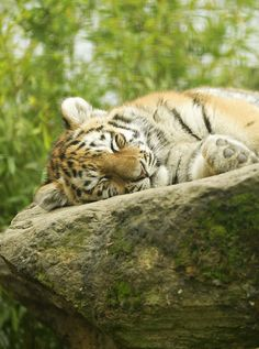 """Tiger Taking a Nice """"Cat Nap"""" Exotic Animals, Unusual Animals, Exotic Pets, Cute Animals, Dinosaur Pictures, Animal Pictures, Big Cats, Cats And Kittens, Lion Photography"""