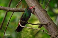 Rufous-tailed Hummingbird (Amazilia tzacatl)   Birding tour around Santa Marta and Guajira area with Bogota Birding