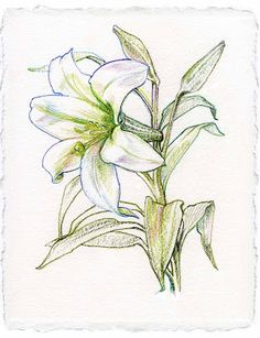 lily flowers drawings | ... lily flower drawing rating 4 5 reviewer nden itemreviewed lily flower