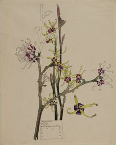 Charles Rennie Mackintosh, Japanese Witch Hazel, 1915