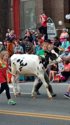 Heifer parade, 2017