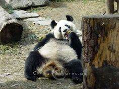 Childish, naive, cute, no word can exactly describe the lovely expression of the giant panda.