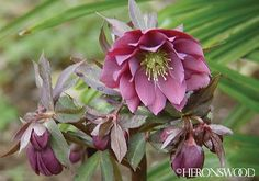 Lenten roses pretty and deer don t like them yay plant with virginia