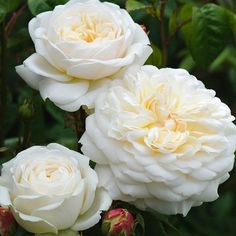'Tranquillity' | Hybrid Moschata, Shrub. English Rose Collection. Bred by David C. H. Austin (United Kingdom, before 2012).