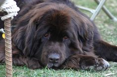 Newfoundland dogs.  My favorite kind of dogs in the world.  I've had three growing up and now not having any kind of sucks... Someday