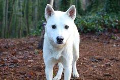 Meet Blizzard, a 3-year-old Siberian Husky mix, who would love to be your adventure buddy. He's a happy boy who loves to explore, and would happily trade you a bunch of tail wags and kisses for a good chin scratch or tummy rub. He loves showing off all the cool smells he finds on the trails with his human. At the end of the day, he's happy to settle down at your feet until it's time to play again. Blizzard was ADOPTED! from Seattle Humane, January 2016