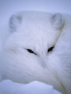 Arctic Fox Curls up in a Blanket of Snow