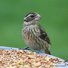 Rose-breasted Grosbeak,female...actually seems larger than the male, very striking face