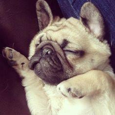 Sleepy baby pug. Ok. This one deserves a girly moment. Here goes. SQUEEEEE OMG CUTE OVERLOAD -dies-