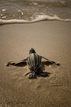 Leatherback+sea+turtle+hatchling+by+Chris+Johnson+on+500px