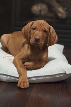 Vizsla Pup ~ Classic Look