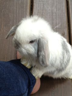 Raindrop, Our white and gray Holland Lop bunny, saying hello. Photo by Michelle C Donati