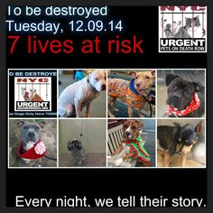 TO BE DESTROYED: 7 Dogs to be euthanized by NYC ACC- TUES. 12/09/14. This is a HIGH KILL shelter group. YOU may be the only hope for these pups! ****PLEASE SHARE EVERYWHERE!!!!To rescue a Death Row Dog, Please read this: http://urgentpetsondeathrow.org/must-read/ To view the full album, please click here: https://www.facebook.com/media/set/?set=a.611290788883804.1073741851.152876678058553&type=3